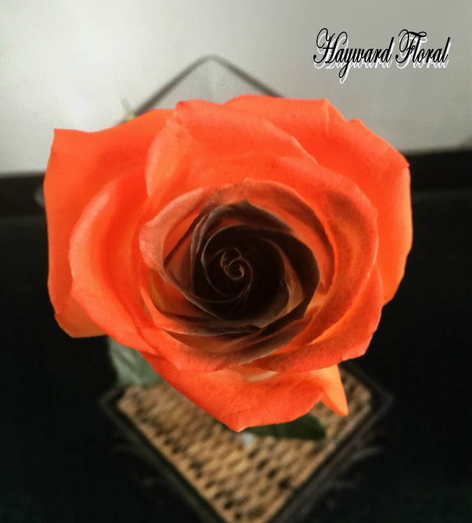 Color Tip Roses 7 Orange And Black Roses