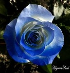 COLOR Tip Roses # 9  Baby Blue & Royal Blue