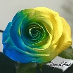 Color Tip Roses # 8 Blue and Yellow
